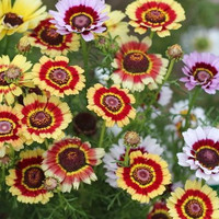Chrysanthemum Painted Daisy Flower Seeds (Chrysanthemum Carinatum) 200+Seeds