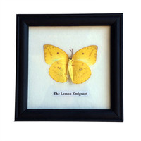 Framed Lemon Emigrant Butterfly