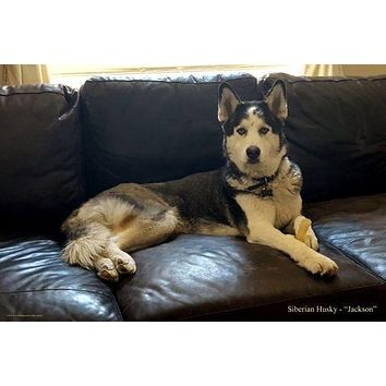 Dogs Siberian Husky poster Metal Sign Wall Art 8in x 12in