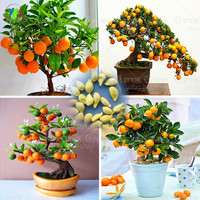 40 /Bag Bonsai Orange Tree Seeds Organic Fruit Tree Seeds For flower pot planters very big and delicious