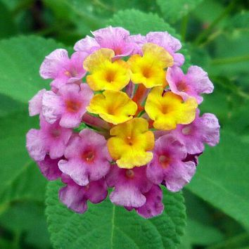 30pcs Bonsai Ornamental Plant Lantana Seeds Garden Greening flower Seed