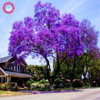 100pcs/bag paulownia seeds, Royal Empress Tree Seeds (Paulownia tomentosa), ourdoor plants flower seeds home garden plant potted
