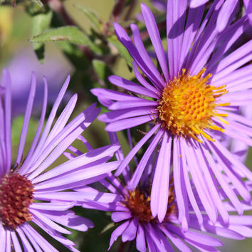 New England Aster Flower Seeds - Non-GMO, Open Pollinated, Untreated, Heirloom, Native, Flower Seeds