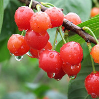 Edible Green Plant Organic Fruit Seeds Cherry Tree Shrub Seeds Prunus cerasus cherry-tree Seeds S0007