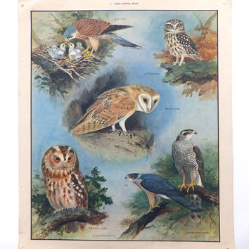 Owls, Kestrel, Vintage School Poster, Birds Chart, School Art, Dorm Decor, Paper Ephemera, Wall Hanging, Macmillans School Poster