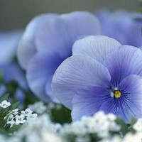Pansy Clear Light Blue Flower Seeds (Viola x Wittrockiana) 50+Seeds