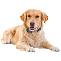 Golden Retriever Puppies & Dogs for Adoption