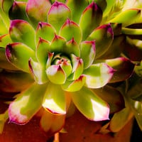 Hens and Chicks Photo, Floral Photography, Botanical Print, Floral Photo, Green Pink Photo, Terra Cotta Photo, Spring, Summer, Seasonal