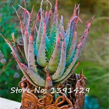 Rare Snake Aloe Vera Seeds 100 Pcs Rainbow Aloe Vera Plant Herbal Succulent Seed Bonsai Houseplants for Home Garden