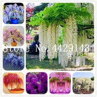 Free shipping New 2018 Hot summer 100% Wisteria bonsais bonsailing pots Bonsai Climbing garden plants 10 pcs/bag For Sale