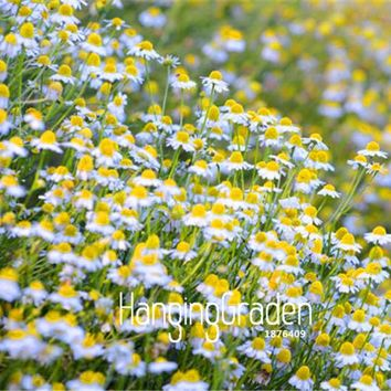 100 Pieces/Pack New Fresh Seeds  German Fragrant Chamomile Flower Seeds Heirloom NON-GMO