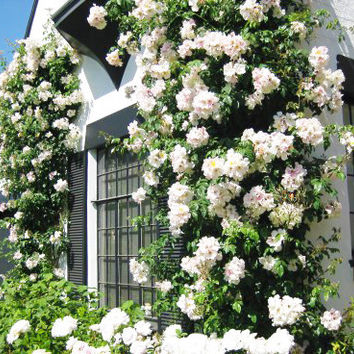 100 White Climbing Rose Seeds Polyantha DIY Home Garden Courtyard Pot Flower Plant Home Garden Heirloom Seeds Penerials