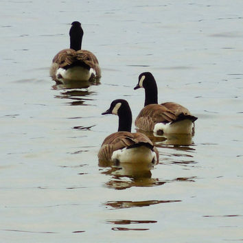 CANADA GEESE--Nature Photography, Geese, Waterfowl, Picture of Geese, Canada Geese, Geese Swimming, Birds, Geese on Lake, Goose, Cabin Decor