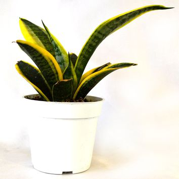 "9GreenBox - Superba Robusta Snake Plant - Sanseveria - Impossible to kill! - 4"" Pot"