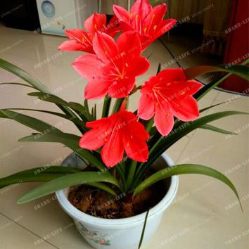 100pcs A Lot Zephyranthes Candida Seed (onion Orchid Seeds) Mini Easy Planting Balcony Fun Indoor Flower Pots Seed Free Shipping