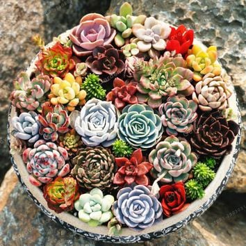 Rare Beauty Succulents plant Easy To Grow Potted Flower plant 100 Pcs Bonsai plant For Home Garden Mix Color