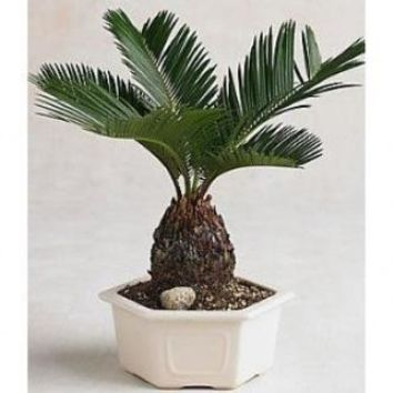 9GreenBox - Sago Palm Bonsai great gift