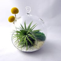 Tillandsia and Billy Buttons Part 2 // Air Plant Terrarium // Home and Garden