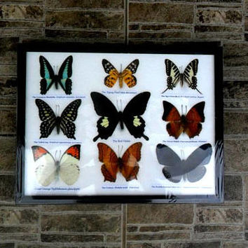 "Real Butterfly Nine Butterflies Framed Display Rare Insect Taxidermy frame 13.75"" x 9.75"""