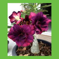 Beautiful purple flowers of desert rose petal seed garden balcony patio potted bonsai 100 true seeds 1PCS