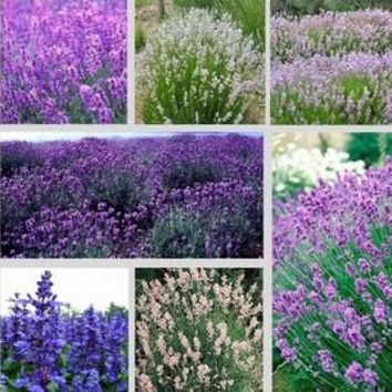 Free shipping 5 kind Lavender seeds herb seed garden balcony pot Four Seasons flower seeds 50Pcs