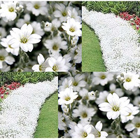 Cerastium Tomentosum Snow In Summer Flowers - 2,000 Seeds