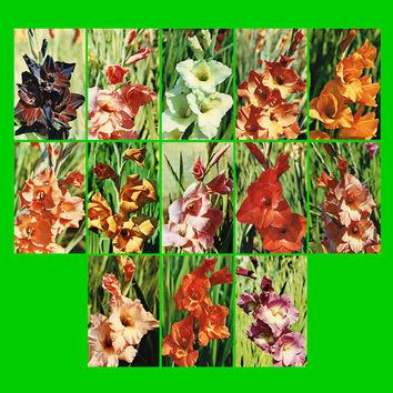 Gladiolus (Photo by N. Motanov) - Set of 13 Vintage Postcards - Printed in the USSR, «Planet», Moscow, 1972