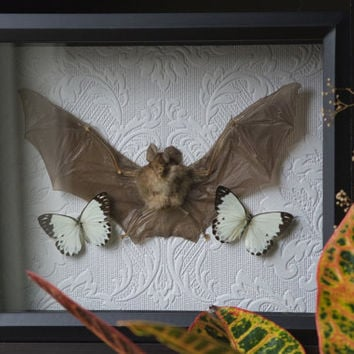 Blyth's Horseshoe Bat - Museum Glass Shadow Frame Display - Insect Bug Oddity Curiosity Art
