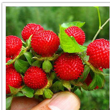 60 Duchesnea Indica Seeds | India Mock Strawberry Wild Berries | Bush Wild Home Gardening Plant Decor  Heirloom Organic non GMO Edible Fruit