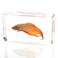 Siamese Fighting Fish in Resin