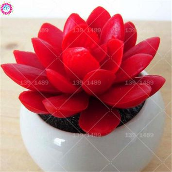 100pcs real ruby red succulent seeds rare living stone flower seeds family heirloom lithops bonsai planting for home garden