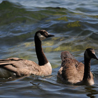 Duck, Ducks, Water, Sunny, Canada, Instant Download Nature Photography