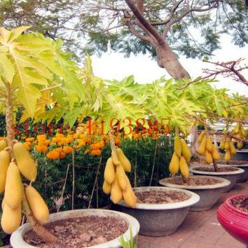 mini fruit potted bonsai 30 Papaya Tree Seeds,perfect fruit for your family,DIY home garden best healthy food for family gift