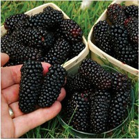 100pcs Nutritious Giant Thornless Blackbeery Seeds Antioxidant Fruit Seed