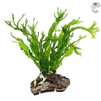 LUFFY wFern 20+ leaves. Beautiful Live aquarium plant! For fish exo shrimp windelov moss lace fern terra tank diffuser co2 java frog. Please tie them to stone/rock/wood/driftwood.