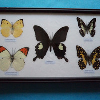 5 Real Asian Butterflies Framed Taxidermy Display Butterfly Lime Butterfly Lemon Emigrant Great Orange Tip Common Jay Red Helen