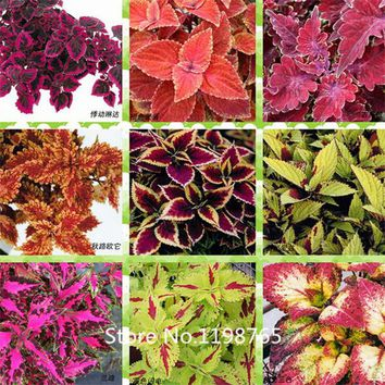 2016 Hot Flower seeds 100pcs Black Dragon Coleus seeds Flower Seed Pack - Beautiful ecstatic planting flowers Bonsai seeds