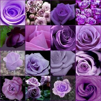 Rose 200pcs Cheap Rare Purple Rose Flower  Polyantha Outdoor House Plants Creepers Garden bonsai