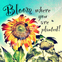 "Whimsical sunflower photograph with inspirational quote ""Bloom where you are planted"" 8x8 inch photo graphic art"