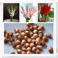 3 Bulbs a pack/ True gladiolus flower bulbs,(not seeds),Flower symbolizes longevity,plant for home garden,easy care
