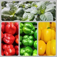 Colorful Bell Pepper Colection Heirloom Seeds Non GMO