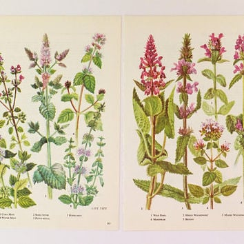 Kitchen decor, Herb print, Herbs, Vintage botanical prints, Mint, basil, marjoram, Botanical illustrations, unframed pictures, kitchen art