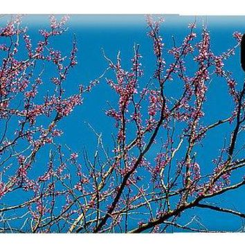 Tennessee Red Bud - Phone Case