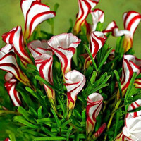 100 Oxalis Versicolor Flowers Seeds World's Rare Flowers For Garden Home Planting Flowers Semillas Exotic Unique Rare