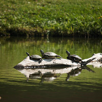 Turtles Lounging in The Sunshine, Wildlife Photography, Nature Photo, Animal Photography, Animal Decor, Turtle Wall Art,  4x6-24x36