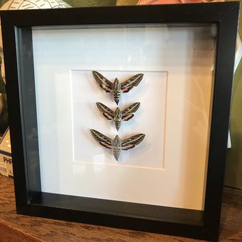 White Lined Sphinx Moth Collection