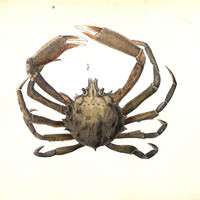 Spider Crab Stone Lithograph, 1843