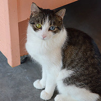 Domestic Short Hair named Amelie is available for adoption at Best Friends Sanctuary in Kanab, Utah