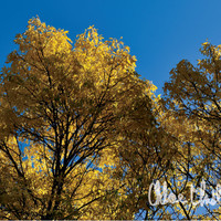 Color Photography - Yellow - fine art print, home decor, wall photo, autumn, tree, leaves
