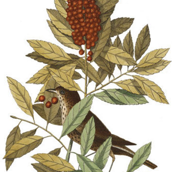 berry tree bird Digital Art, clip art, Digital graphics, animal nature Images ArtDownload printable Art Vintage illustrations